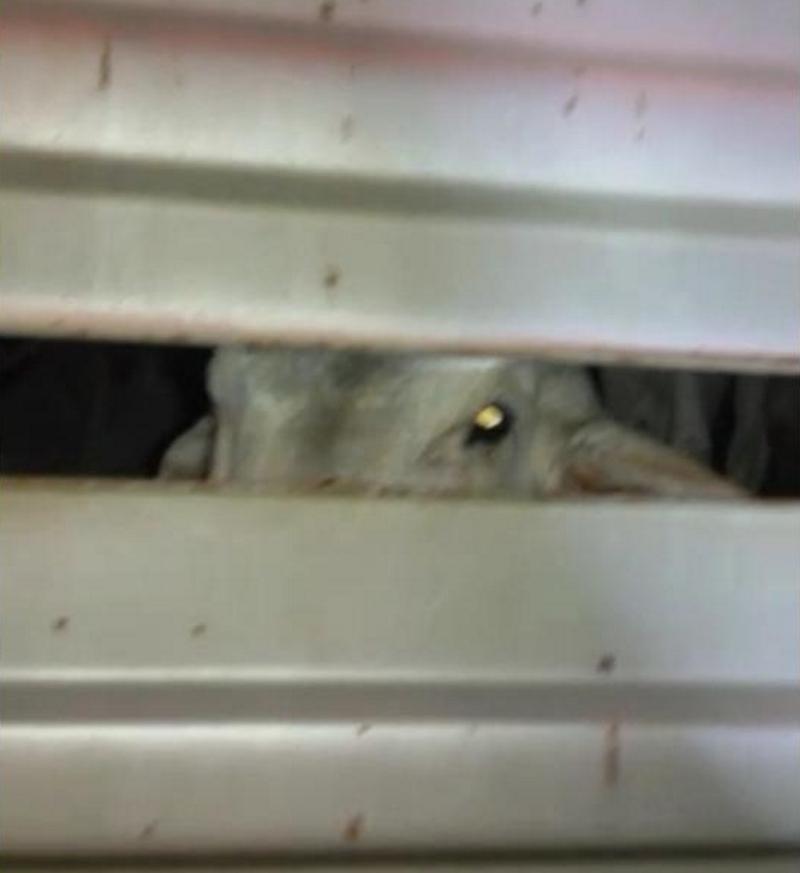 Gado encontrado dentro do caminhão